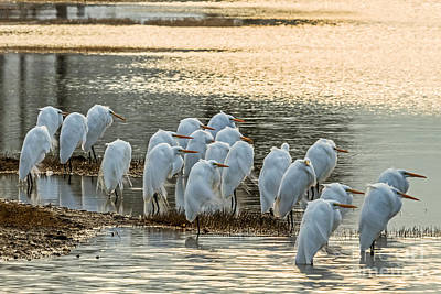 Photograph - Flock Of White Egrets by Gene Berkenbile