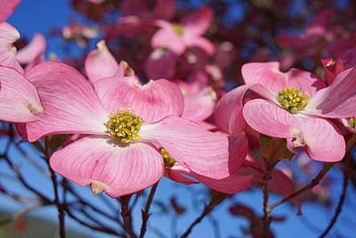 Floral Art Print Pink Dogwood Tree Flowers Art Print by Baslee Troutman