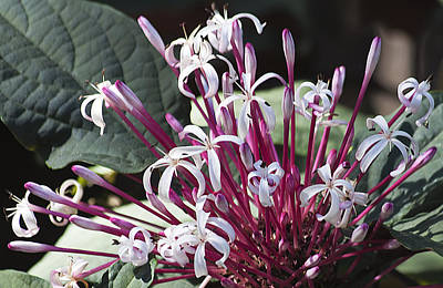Floral Fireworks Print by Kenneth Albin