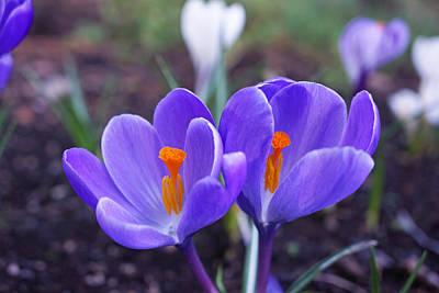 Photograph - Floral Garden Purple Crocus Flower Art Prints by Baslee Troutman