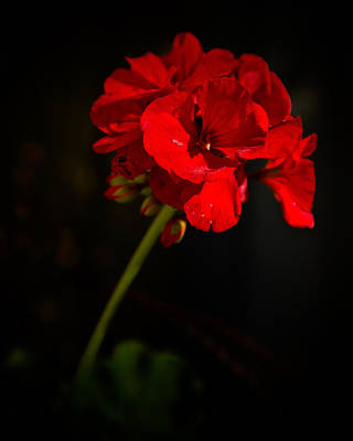 Photograph - Floral Red by Denis Lemay