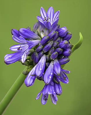 Photograph - Florets Opening - The Agapanthus Series by Karen Stephenson