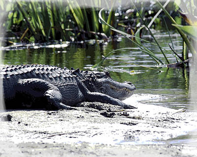 Photograph - Florida Alligator On The Sand by William Havle