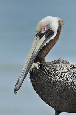 Photograph - Florida Brown Pelican by Bradford Martin