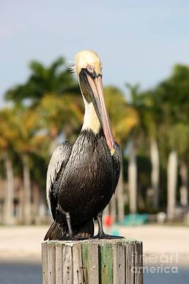 Typographic World Rights Managed Images - Florida Brown Pelican Royalty-Free Image by Carol Groenen