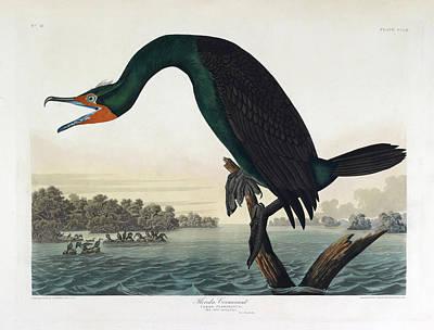 Cormorant Photograph - Florida Cormorant by British Library