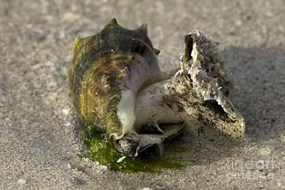 Photograph - Florida Crown Conch by Meg Rousher