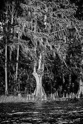 Photograph - Florida Cypress - Bw by Christopher Holmes