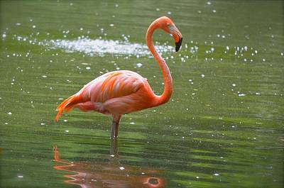 Photograph - Florida Flamingo 2 by Richard Bryce and Family
