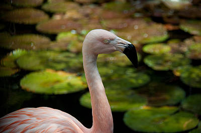 Photograph - Florida Flamingo by John Black