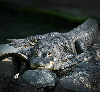 Reptiles Royalty-Free and Rights-Managed Images - Florida Gator by Anthony Jones