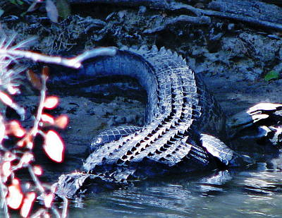 Photograph - Florida 'gator by Jp Grace