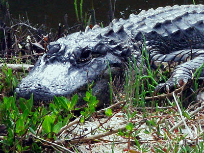 Photograph - Florida Gator by Patricia Januszkiewicz