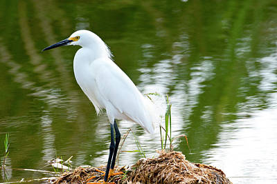 Florida, Immokalee, Snowy Egret Hunting Print by Bernard Friel
