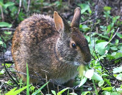 Photograph - Florida Marsh Rabbit by Ira Runyan