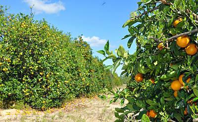 Grace Kelly - Florida orange grove by Deborah Good