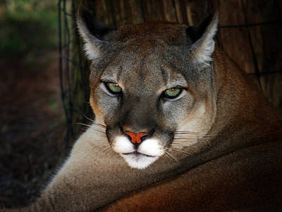 Photograph - Florida Panther by Anthony Jones