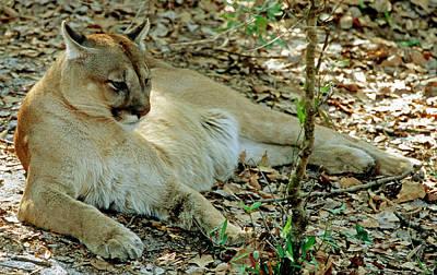 Florida Panther Felis Concolor Coryi Art Print