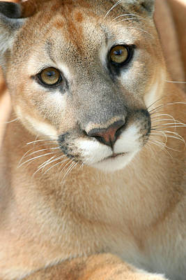 Photograph - Florida Panther by Karen Lindquist