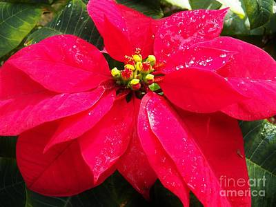 Photograph - Florida Poinsettta 2 by Judy Via-Wolff