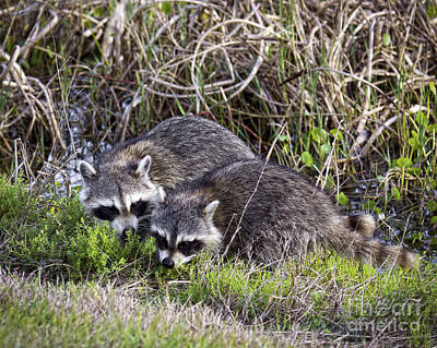 Photograph - Florida Raccoons by Ronald Lutz