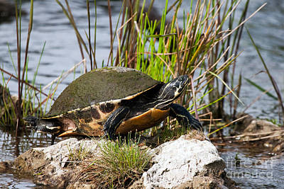 Photograph - Florida Red-bellied Turtle by Martha Marks