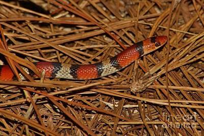 Photograph - Florida Scarlet Snake by Lynda Dawson-Youngclaus