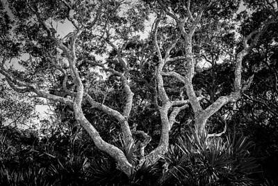 Saw Palmetto Photograph - Florida Scrub Oaks Bw   by Rich Franco