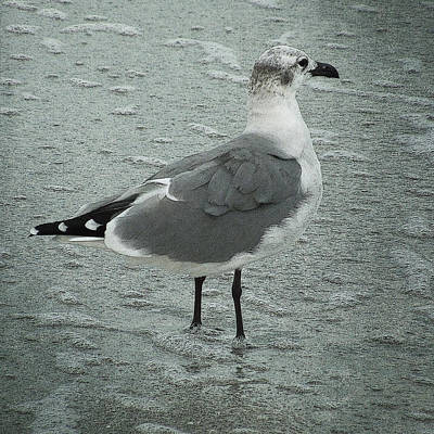 Photograph - Florida Seagull by Sandra Selle Rodriguez