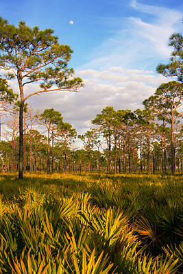 Photograph - Florida Slash Pine Forest by John Myers