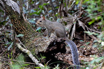 Photograph - Florida Squirrel by Jodi Terracina