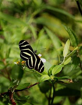Photograph - Florida State Butterfly by Joseph G Holland