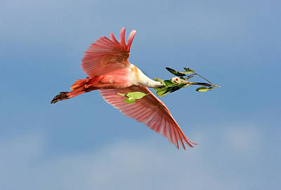 Roseate Spoonbill Photograph - Florida, Tampa Bay by Jaynes Gallery