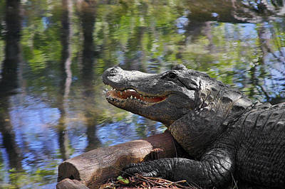 Blue Water Photograph - Florida - Where The Alligator Smiles by Christine Till