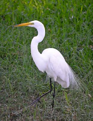 Photograph - Florida White Egret by Richard Bryce and Family
