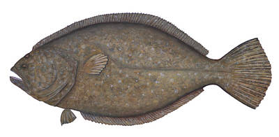 Flounder Painting - Flounder by Mary Phillip