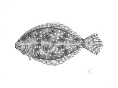 Drawing - Flounder - Scientific by Hayden Hammond