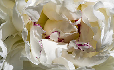 Photograph - Flower - Peony by Steven Ralser