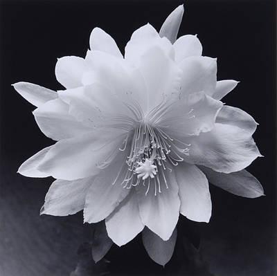 Epiphyllum Oxypetalum Photograph - Flower 05 by Haruo Kaneko