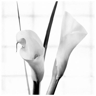 Lilies Royalty-Free and Rights-Managed Images - Calla Lily 2 by Mike McGlothlen