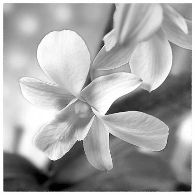 White Orchids Photograph - White Orchid by Mike McGlothlen
