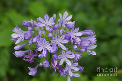 Photograph - Flower - Agapanthus  -   Austin Botanical Gardens -  Luther Fine Art by Luther Fine Art