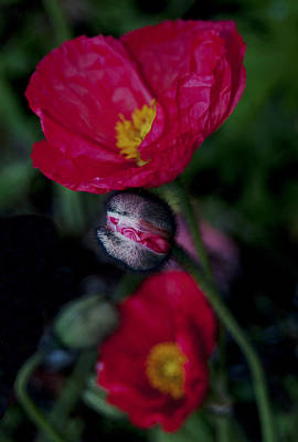 Art Print featuring the photograph Flower Bud by Haleh Mahbod