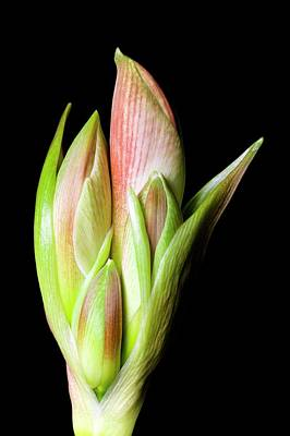 Flower Buds Of Hippeastrum Print by Dr Jeremy Burgess