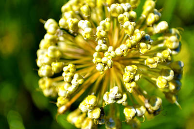 Photograph - Flower Burst by Richelle Munzon