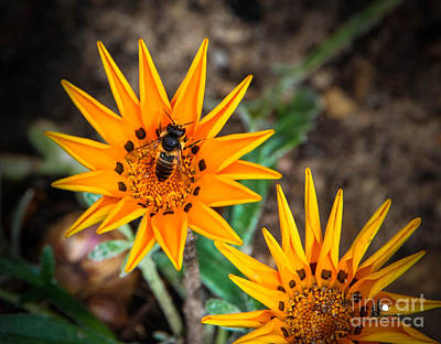 Photograph - Flower Burst With Bee by Grace Grogan