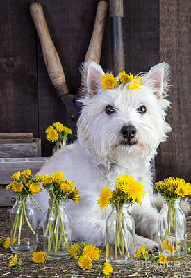 Westie Dog Photograph - Flower Child by Edward Fielding