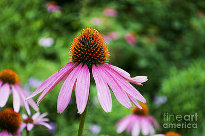 Photograph - Flower - Cone Flower Star- Luther Fine Art by Luther Fine Art