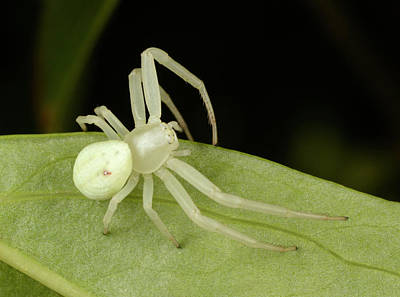 Spider Photograph - Flower Crab Spider by Nigel Downer