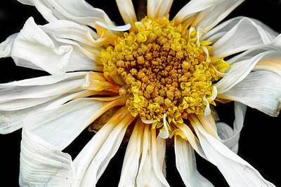 Scanography Photograph - Flower - Daisy - Drunken Sun by Mike Savad